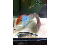 Red Head Geophagus, 6/7 inch Adult beautiful tropical fish