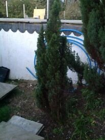 Green Mature Leylandii Tree - over 5 feet tall - Evergreen - Collect from Guildford GU1