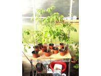 Tomato Plants For Sale- £2.50 each
