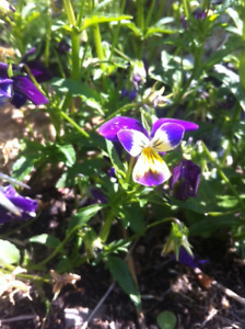 Potted Pansies, Poppies, Bachelor Buttons, Lily of the Valley