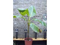 Banana tree (musa basjoo)