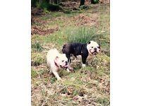 2x male KC Reg Bulldog Puppies