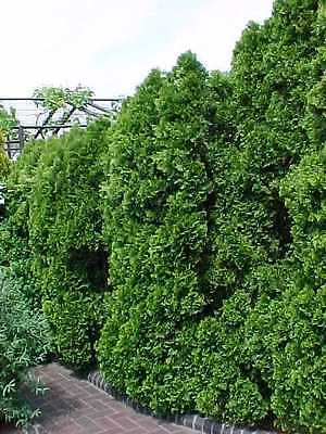 American Arborvitae, Thuja occidentalis, Tree Seeds