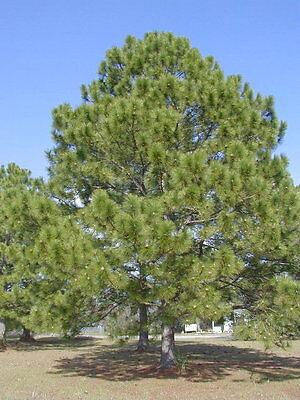 Loblolly Pine, Pinus taeda, Tree Seeds (Fast, ...