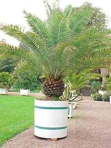 Canary-Island-Date-Palm-10-Fresh-Seeds