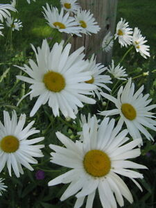 Marguerites blanches (pot 1 gallon)