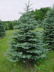 For Sale: 10' to 12' Trees (Delivery and Installation)