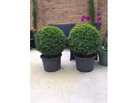 2 Extra Large Box/Buxus Plants in Black Tubs. Collect from Fulham