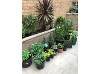 Outdoor plants from £2, collect from Fulham(Euonymous,Skimmia,Lavender,Hydrangea,Sedum,Geranium,etc)
