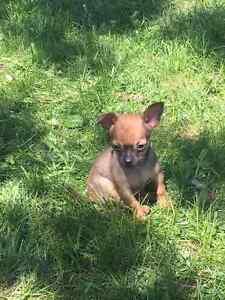 2 Très beau Petit Chihuahua T-cup 3lb Adulte,  Prêt à Partir