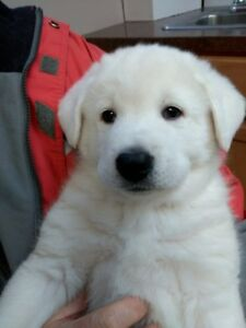 Beautiful Puppies for Sale. January 25/2018
