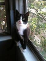 """Young Male Cat - Tuxedo: """"Blackie"""""""