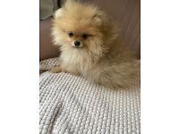 2 female cream/orange sable Pomeranian puppies for sale