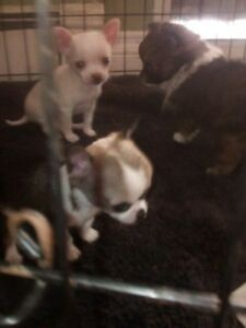Teeny Tiny F1b Pomchi Shorthair Girls