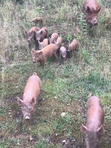 Tamworth piglets available mid October