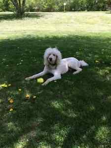 4 year old Standard Poodle
