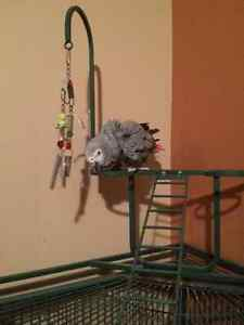 5 year old African Grey Parrot
