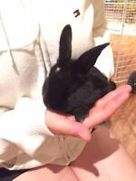 "Baby Male Rabbit - Dutch: ""Chip"""