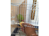 Indian Ringneck Pair for Sale - Inc Cages / Vitamin / Plume Spray / Anti Peck Spray