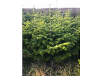 Potted Real Living Christmas Trees (Nordmann Fir) Quantities per 25