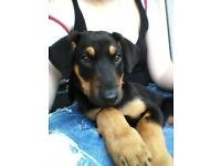 Lovley doberman puppy for sale