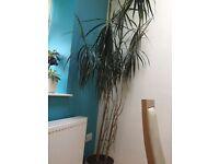House plant, dracena marginata over 2 metres high in large ceramic pot