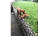 Beatiful Hungarian Vizuala puppies for sale