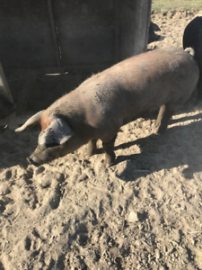 Pig! Boar for sale