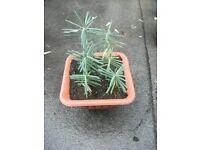 Plant for sale . Euphorbia Lathyris