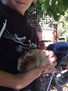 Sweet baby boy guinea pigs East Fremantle Fremantle Area Preview