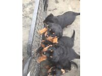 Beautiful Chunky Rottweiler Puppies