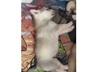 Siberian Huskies Puppies For Sale