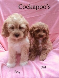 Poodle Puppy | Adopt Dogs & Puppies Locally in Mississauga