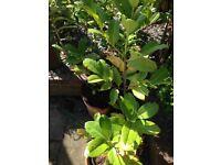 2 x Cherry Laurel Prunus Rotundifolia Garden Plant 80 cm EVERGREEN HEDGING TREES