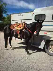 Jet Black 7 year old Registered QH Gelding