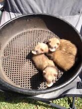 Ferrets For Sale x 3 Russell Lea Canada Bay Area Preview