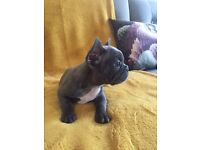 Beautiful Blue and Red french bulldog puppies - last two left