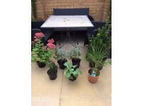 Outdoor plants – Sedum, Lavenders, Hosta, Dwarf Fan Palm, Euonymus Green. Collect Fulham. From £3