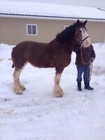 Clydesdales mares