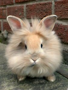 Female lion head rabbit