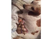 Hush Basset Puppies