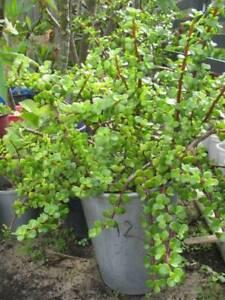 Potted cheap jade (money tree) plants