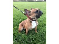 Beautiful French Bulldog Red - 11 months