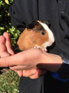 Guinea pigs Cromer Manly Area Preview