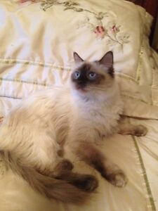 CHOCOLATE POINT RAGDOLL-TICA REGISTERED