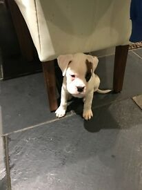 KC Registered Boxer Puppy Last 1 Remaining