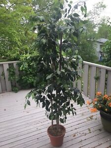 Nearly Natural 6-Feet Ficus Tree