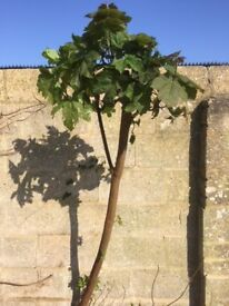Sycamore Tree, 5'+, Free of Charge if you dig it outf
