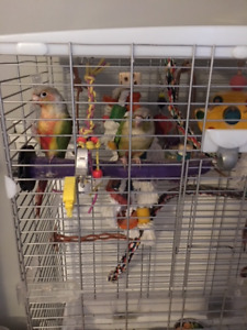 3 year old very friendly Pineapple conures for sale