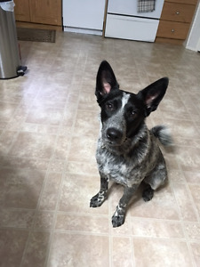 Border Collie Blue Healer Cross